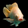 Nile red tilapia fish or oreochromis niloticus isolated on black studio aquarium shot Stock Photography