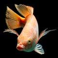 Nile red tilapia fish or oreochromis niloticus isolated on black studio aquarium shot Royalty Free Stock Photography