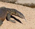 Nile or water monitor varanus niloticus on sandy river bank kruger national park south africa Royalty Free Stock Photos