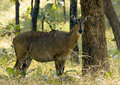 Nilgai Stock Photography