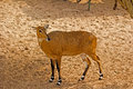 Nilgai deer in kankariya zoo ahmadabad gujarat Royalty Free Stock Image
