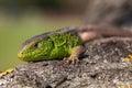 Nimble green lizard Lacerta viridis, Lacerta agilis closeup, basking on a tree under the sun.Male lizard in a mating season Royalty Free Stock Photo