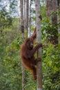 Nimble orangutan climbing a tree closer to the sky in the jungles of indonesia borneo kalimantan Stock Photos