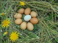 Nine chicken eggs lie on dry grass with yellow flowers Royalty Free Stock Photo