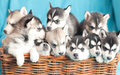 Nine little husky puppy sitting in a wicker basket on a turquoise background Stock Photos