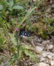 A nine spotted moth amata phegea on magenta thistle Royalty Free Stock Photo