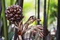 Nipa Palm Fruit Royalty Free Stock Photo