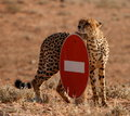 No entry Cheetah Stock Photography