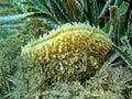 Noble pen shell pinna nobilis bivalve mollusc underwater life a marine of the mediterranean sea azure coast var france Stock Image