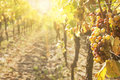 Noble rot of a wine grape botrytised grapes in sunshine Royalty Free Stock Images