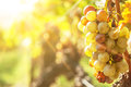 Noble rot of a wine grape botrytised grapes in sunshine Stock Image