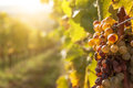 Noble rot of a wine grape botrytised grapes in sunshine Stock Photo