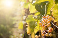 Noble rot of a wine grape botrytised grapes in sunshine Stock Photography