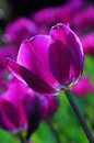 Noble tulips ï œ purple prince full of high ornamental value of is popular in today s global generation famous flowers it is a Stock Photos