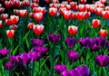 Noble tulips full of high ornamental value of is popular in today s global generation famous flowers it is a liliaceous plant Stock Photo