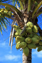 Noci di cocco Immagini Stock