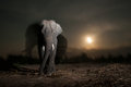 Nocturnal animal elephas maximus Royalty Free Stock Photos