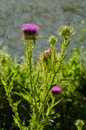 Nodding plumeless thistle carduus nutans Royalty Free Stock Image