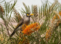 Noisy miner feeding on grevillea flower on the coast of nsw Royalty Free Stock Image