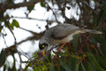 Noisy miner in a tree Royalty Free Stock Photography