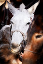 Noisy mules near the Grand Canyon Stock Photography