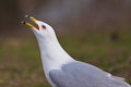 Noisy Seagull Royalty Free Stock Images