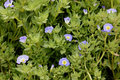 Nolana paradoxa nolanaceae cultivated perennial herb with ascending fleshy branches hairy ovate stalked leaves and blue flowers Stock Photography