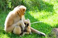 Nomascus gibbon monkey and offspring mother northern white cheeked her baby sitting on the ground of zoo miami south florida Stock Image
