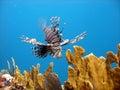 致命的鱼狮子掠食性动物 库存图片