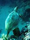 χελώνα θάλασσας ηλιθίων Στοκ εικόνες με δικαίωμα ελεύθερης χρήσης