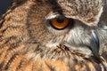 眼睛猫头鹰 免版税库存图片