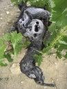 лоза серии виноградины старая Стоковое фото RF