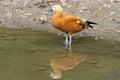 鸭子橙色池塘身分 库存照片