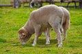 农厂公羊 免版税图库摄影
