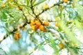 ягоды Мор-крушины Стоковая Фотография RF
