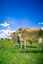 好奇的母牛 免版税库存照片