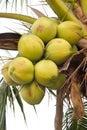 在树的 色椰子 免版税库存照片