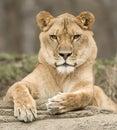 雌狮纵向 免版税库存图片