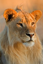 狮子男性年轻人 免版税库存图片