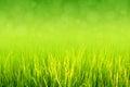 Πολύβλαστος πράσινος ορυζώνας στον τομέα ρυζιού