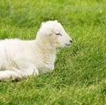 羊羔新出生的春天 免版税库存图片