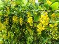 ? ?色开花的灌木 库存图片