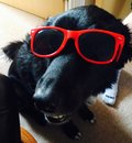 在太阳镜的狗 图库摄影