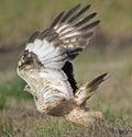 鹰有腿粗砺 库存图片