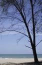 木麻黄属的各种常绿乔木结构树 库存图片