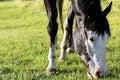 пасти краску лошади Стоковая Фотография RF