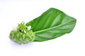 Noni Indian Mulberry Royalty Free Stock Photography