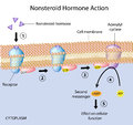 Nonsteroid hormones action Stock Photo