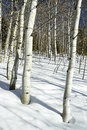 After noon in the forest with Aspens and snow Royalty Free Stock Photo
