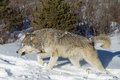 Noordamerikaans grey wolf in sneeuw Stock Afbeelding